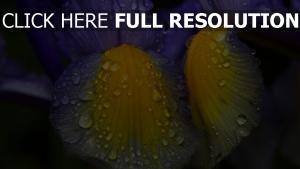 blütenblätter lila gelb tau tropfen iris
