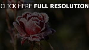 rose schnee kälte blütenblätter rot
