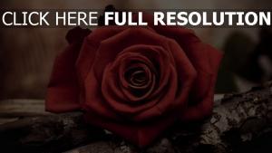 rote rosen blätter blumen rinde