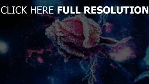 schnee frost knospe rosen rose