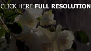 weiße rose regen tropfen blütenblätter