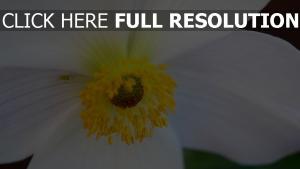 blume blütenblätter nahaufnahme anemone pollen