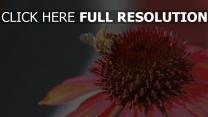 echinacea bestäubung blume biene