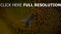 sonnenblume bestäubung biene