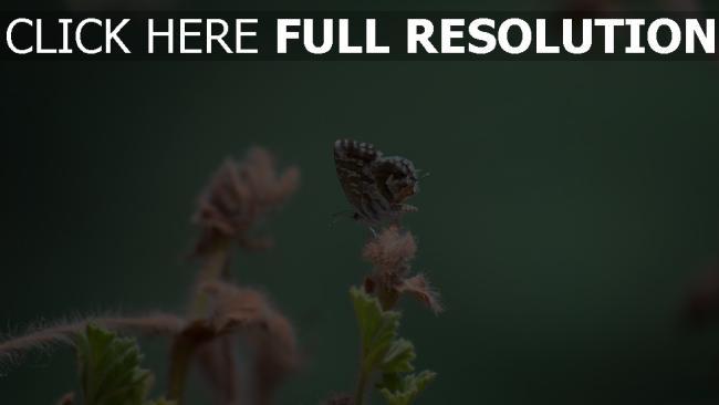 hd hintergrundbilder insekt nahaufnahme pflanze schmetterling