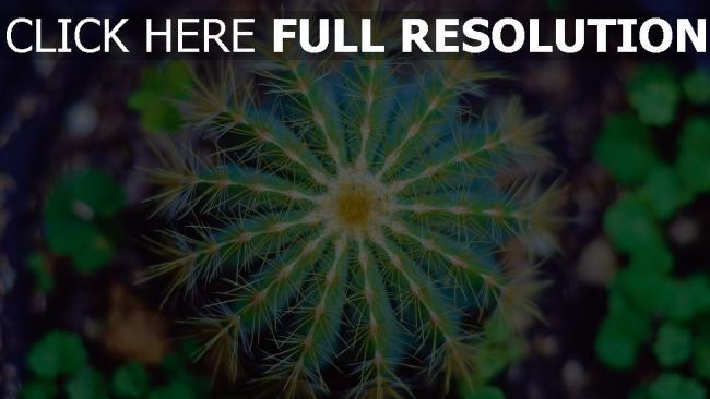 hd hintergrundbilder blume dornen kaktus