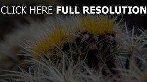 dornen nahaufnahme blumen kaktus