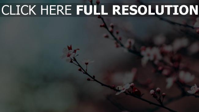 hd hintergrundbilder blüte unschärfe zweig kirsche
