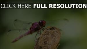 insekt flügel libelle