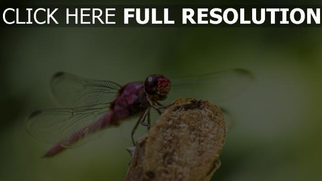 hd hintergrundbilder insekt flügel libelle