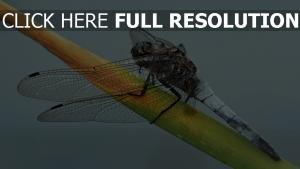 pflanze insekt zweig libelle