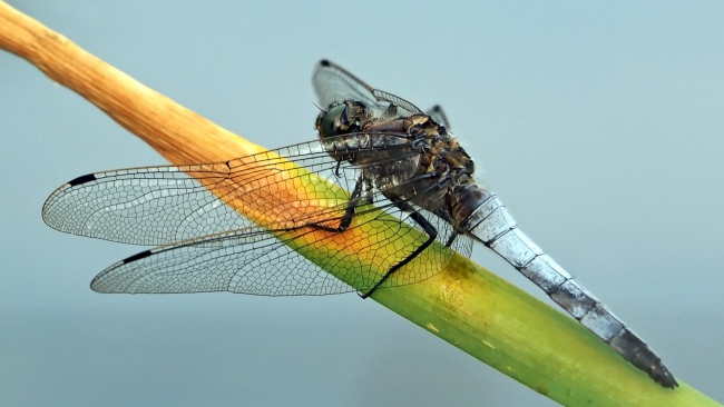 hd hintergrundbilder pflanze insekt zweig libelle