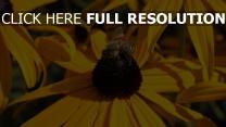 blume bestäubung biene echinacea