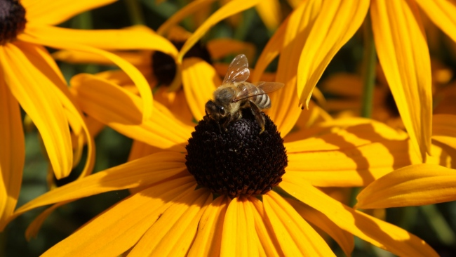 hd hintergrundbilder blume bestäubung biene echinacea
