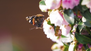 schmetterling insekt blumen