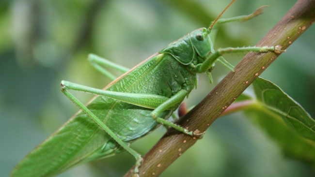 hd hintergrundbilder insekt close-up heuschrecke