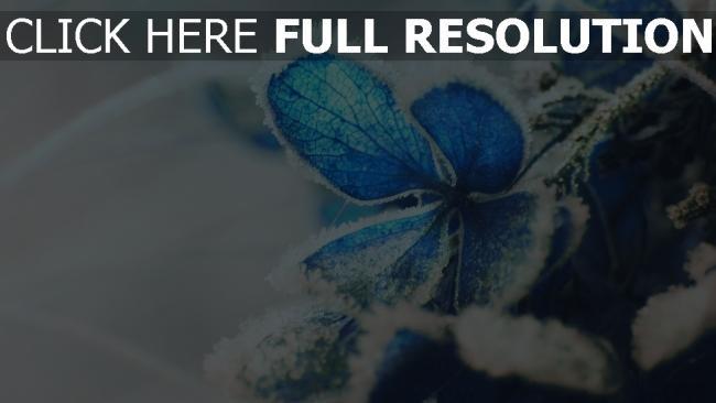 hd hintergrundbilder frost schnee hortensie