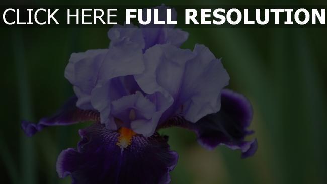 hd hintergrundbilder blume close-up blütenblätter iris