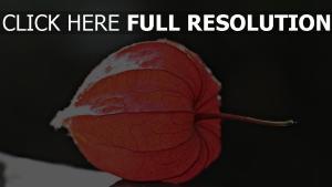 pflanze close-up physalis