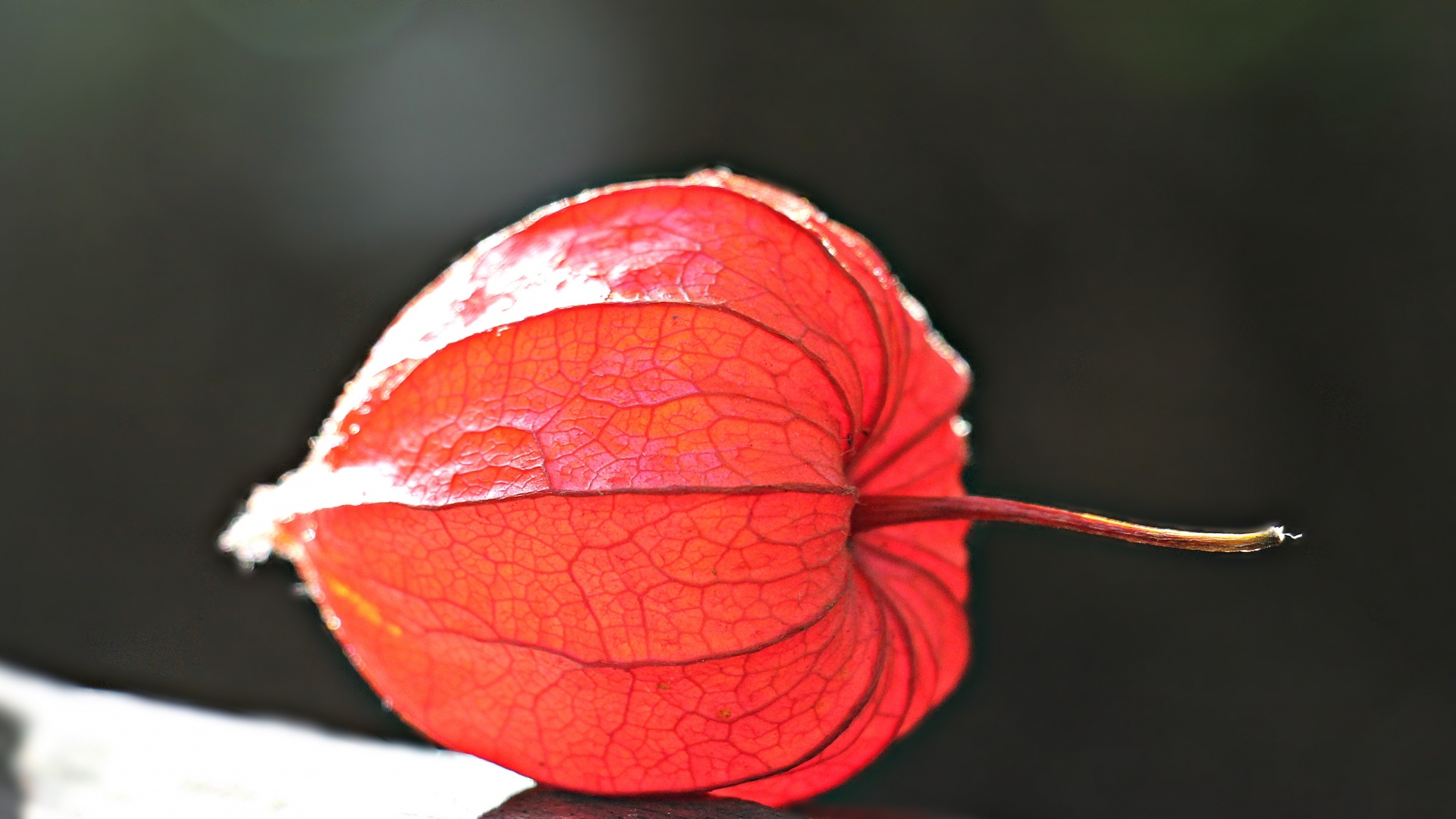 hd hintergrundbilder pflanze close-up physalis 1920x1080