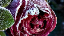 knospe frost close-up rose schnee