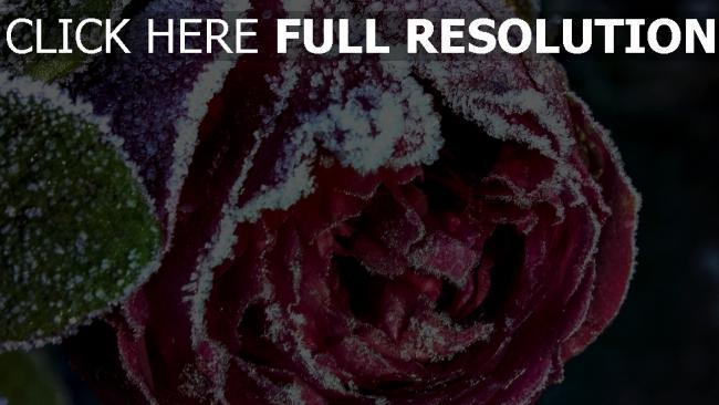 hd hintergrundbilder knospe frost close-up rose schnee