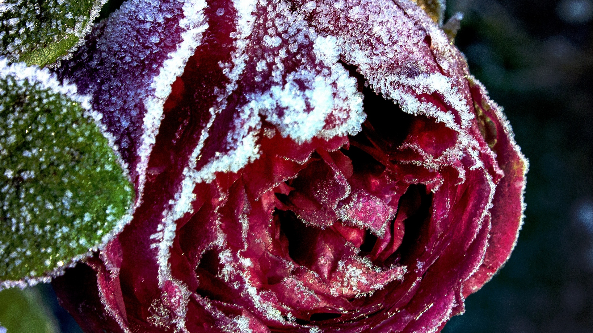 hd hintergrundbilder knospe frost close-up rose schnee 1920x1080
