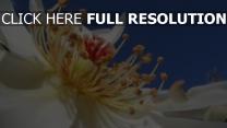blume pollen staubblatt rose