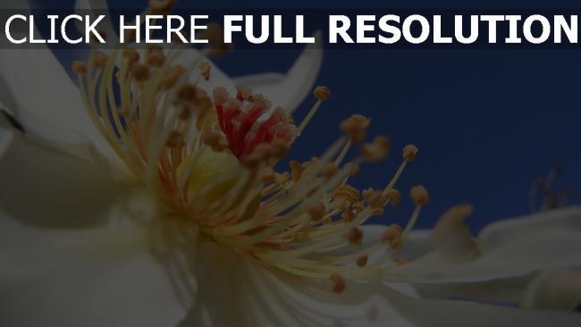 hd hintergrundbilder blume pollen staubblatt rose