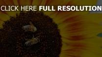 bienen bestäubung sonnenblumen