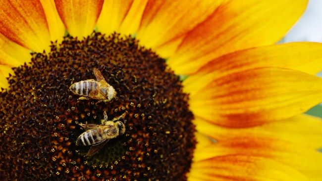 hd hintergrundbilder bienen bestäubung sonnenblumen