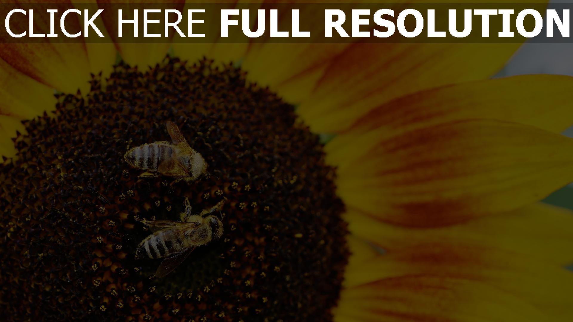 hd hintergrundbilder bienen bestäubung sonnenblumen 1920x1080