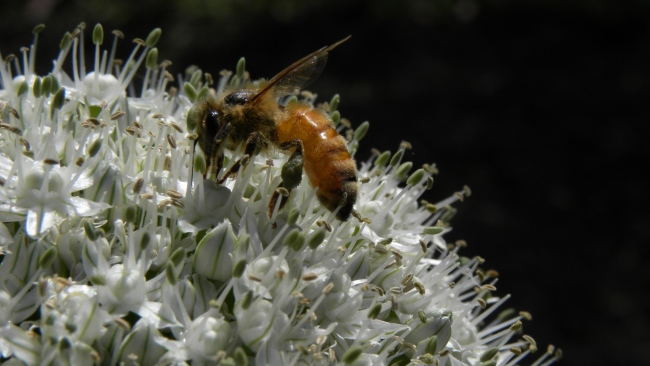 hd hintergrundbilder bestäubung allium blume biene