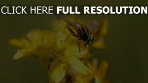gelb blume biene bestäubung