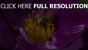 blume bestäubung biene violett