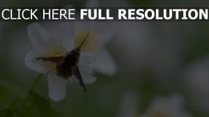 blume insekt bombylius makro