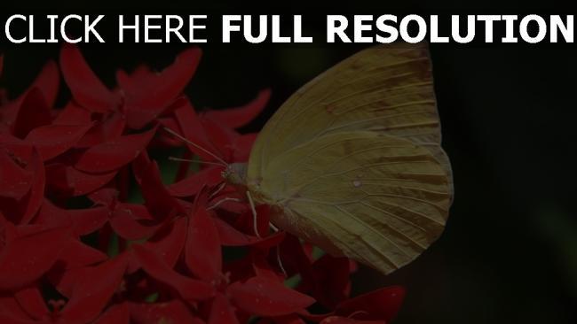 hd hintergrundbilder blume close-up flügel schmetterling gelb, rot