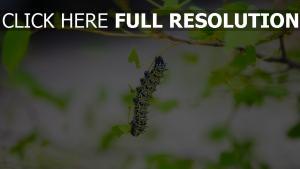 insekt blätter larve raupe