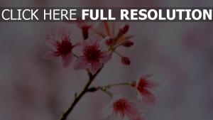 blüte frühling blumen kirsche