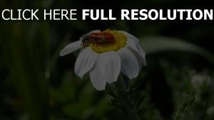 close-up gänseblümchen insekt