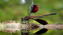insekt close-up libelle