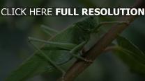 grashüpfer close-up insekten grün