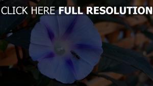 insekt ipomoea violacea blume