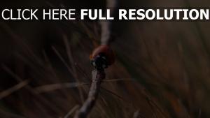 marienkäfer zweig close-up insekt