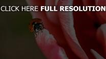 blütenblätter close-up marienkäfer insekt