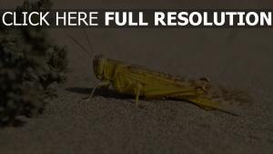 heuschrecke close-up insekt