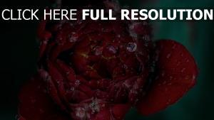 blume rot close-up tropfen