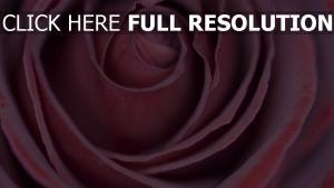 blütenblätter knospe rose