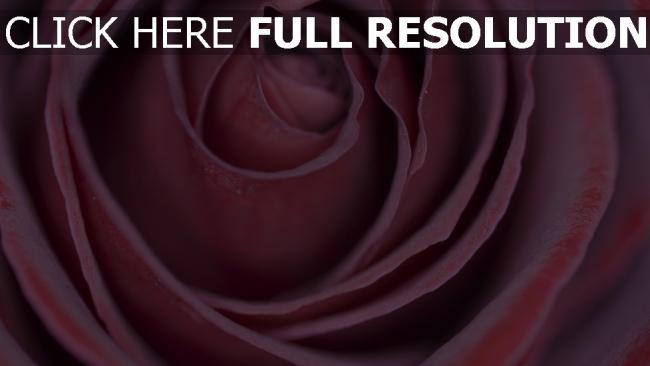 hd hintergrundbilder blütenblätter knospe rose
