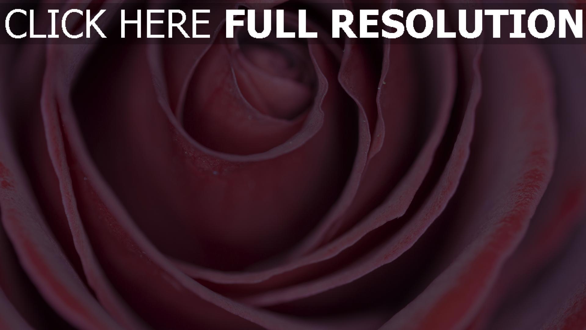 hd hintergrundbilder blütenblätter knospe rose 1920x1080